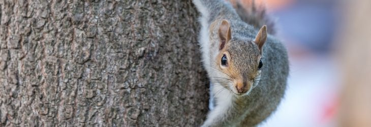 Grey squirrel control at DH Pest Control