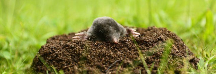 Mole control service by DH Pest Control