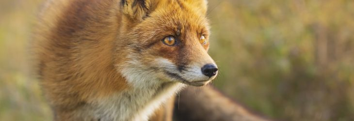 Fox control by DH Pest Control